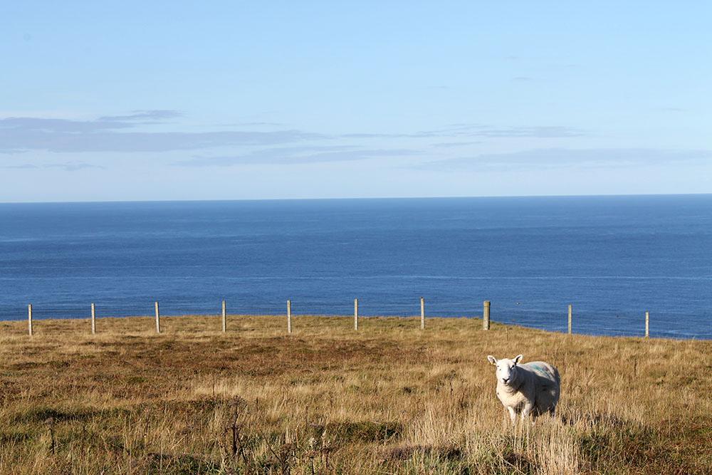 Schafe beim Wandern