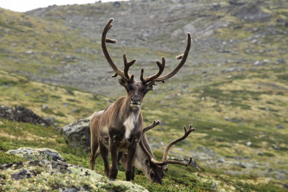Rentiere in Norwegen