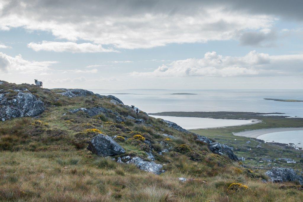 Wandern in Irland Schaafe